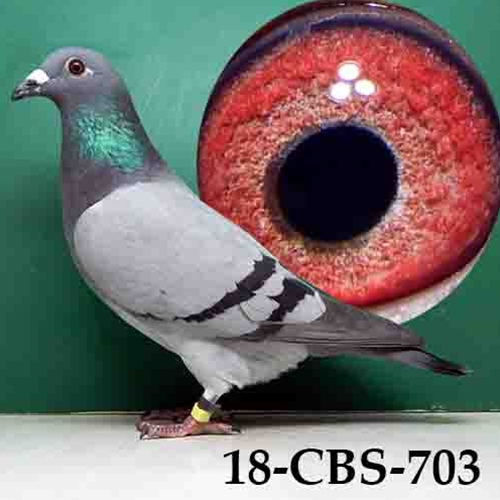 Full brother bred 1st National Ace Pigeon.