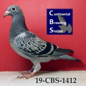 CBS Pigeon
