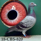 Grandson 'Queen.' Ace Pigeon Of Belgium.